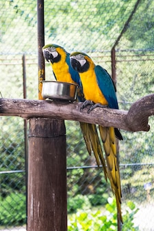 Two big blue-and-gold macaw parrots sitting on the branch in the zoo