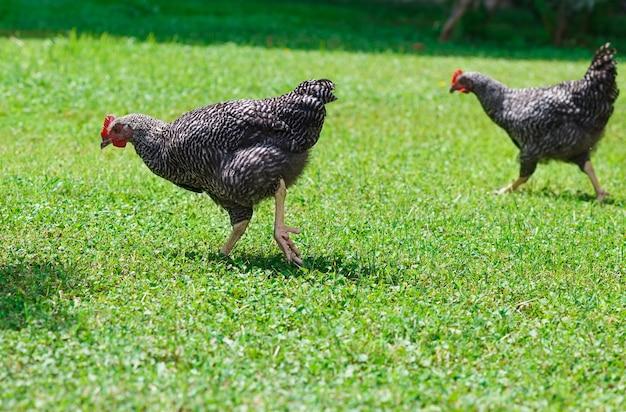 緑の草の上の2つの大きな鶏。晴れた夏の日。