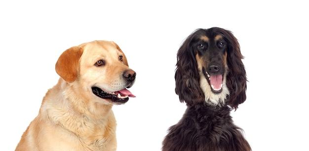 흰색 배경에 고립 된 두 개의 큰 개