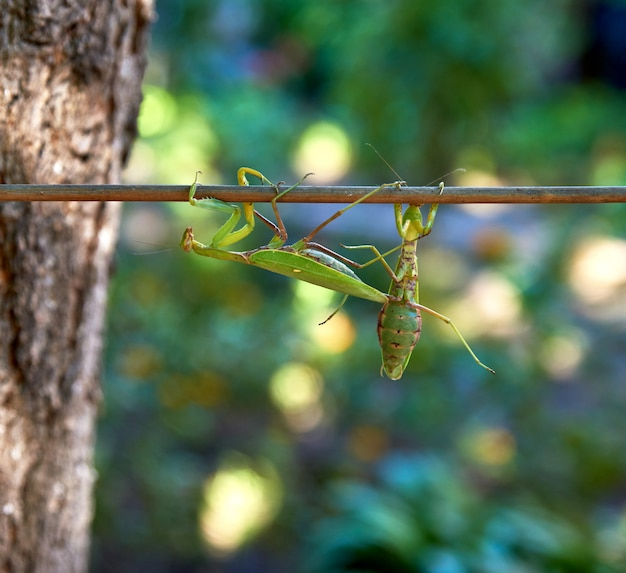Two big green praying mantis on a branch, close up