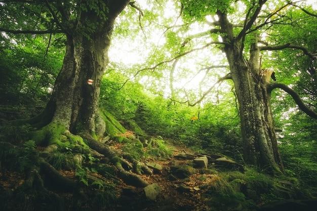 森の中に大きな根を持つ2つの大きな緑の木