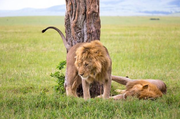 2つの大きなライオンがケニアのサバンナでお互いに感情を示しています