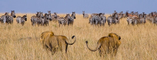 狩りをしている2頭の大きな雄ライオン。国立公園。ケニア。タンザニア。マサイマラ。セレンゲティ。