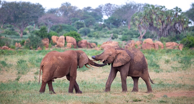 Два больших красных слона пытаются сразиться друг с другом хоботами