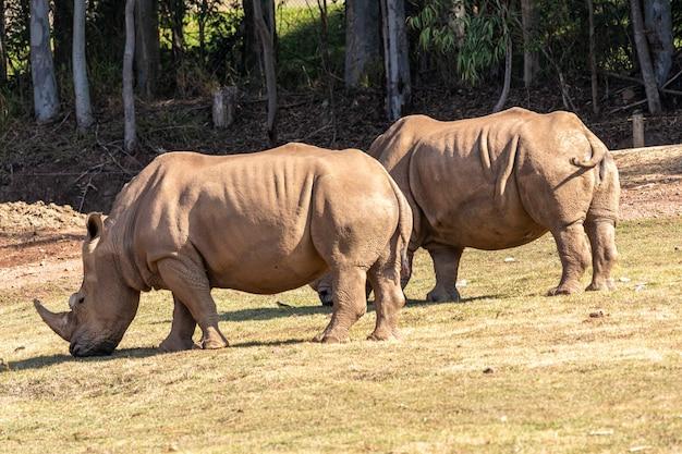 동물원에 두 개의 큰 코뿔소과입니다.