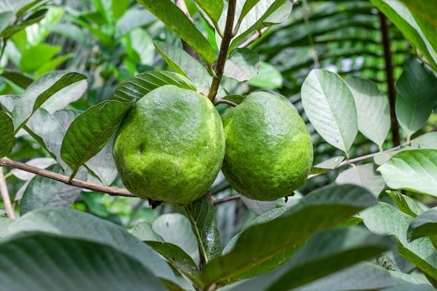 두 개의 큰 익은 구아바 과일은 정원에 잎이 있는 나무에 가까이 있습니다