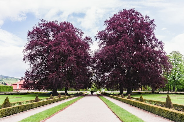 Two big trees with purple foliage in park