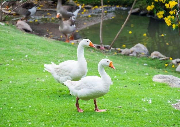Two big white goose pets walking
