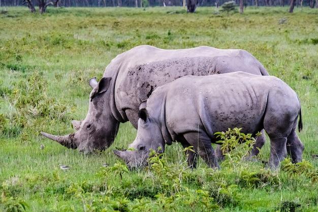2つの大きな白いサイ。ナクル、ケニア
