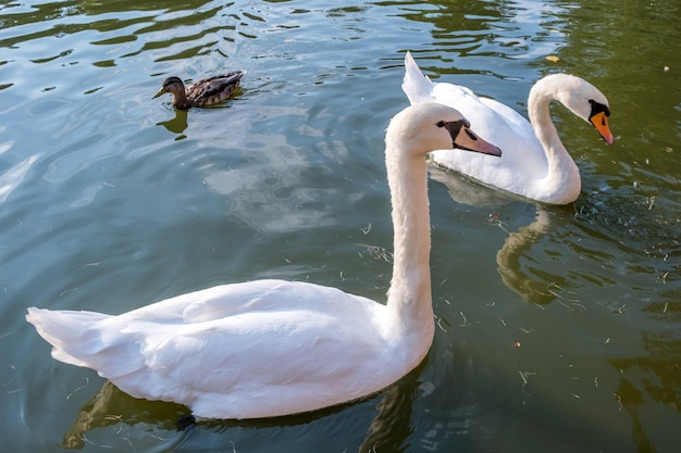 Two big white swans swimming on the surface of a lake of river water.