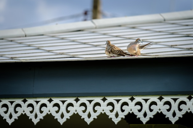 Two bird on roof