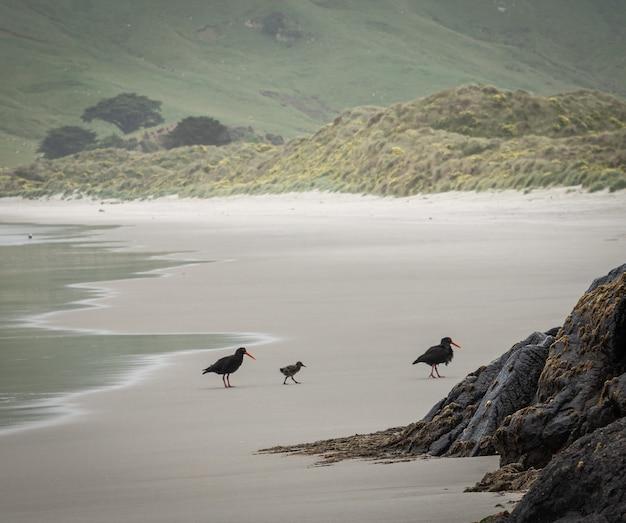 2羽の鳥とその子がビーチを歩くアランズビーチダニーデンオタゴ半島ニュージーランド