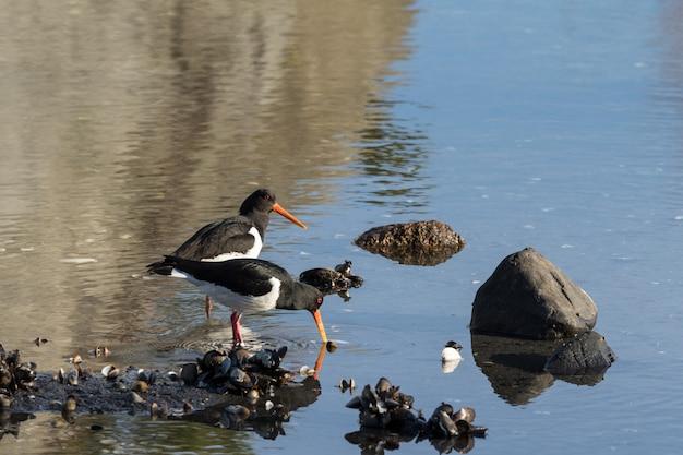 2羽の鳥ユーラシアミヤコドリ。 haematopus ostralegus、オーストアグデル、ノルウェーのビーチでハマグリ