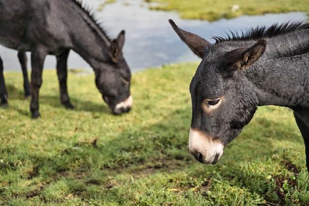 Two black donkeys, livestock concept