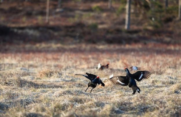 Two black grouse fighting at lek with one black grouse soft, at sunrise in spring, april, in norway