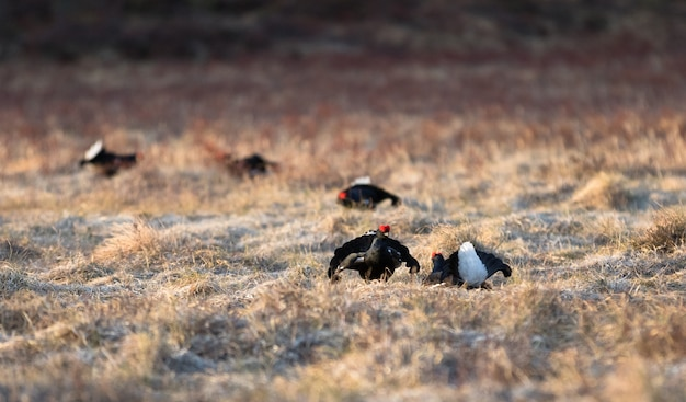Two black grouse in front and three other black grouse soft, in spring, april, in norway