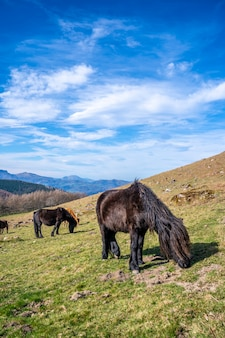 Two black horses eating grass up on top of mount adarra in guipuzcoa