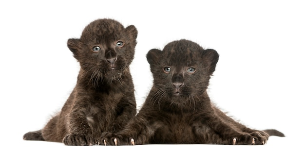 Two black leopard cubs lying down isolated on whit
