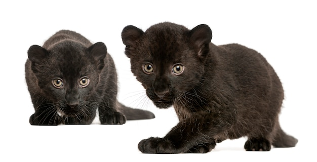 Two black leopard cubs prowling and gazing isolat