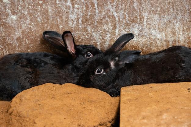 2つの黒いウサギまたはウサギまたはウサギが地面で休んで