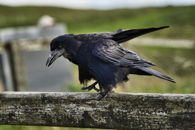 Two black raven on piece of wood.