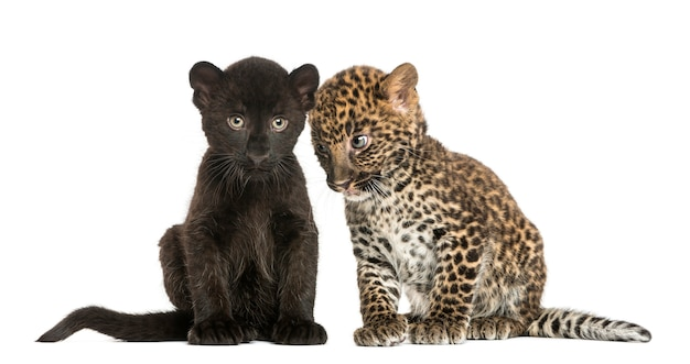 Two black and spotted leopard cubs