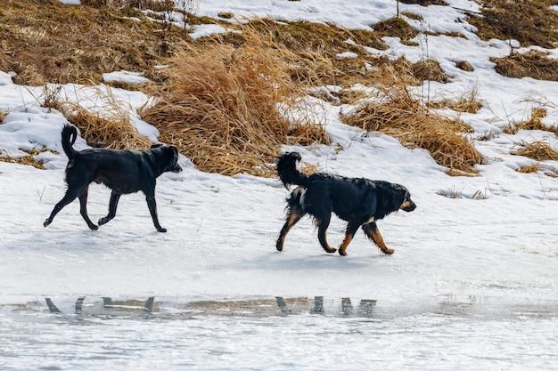 晴れた冬の日に雪に覆われた川岸に沿って走っている2匹の黒い野良犬