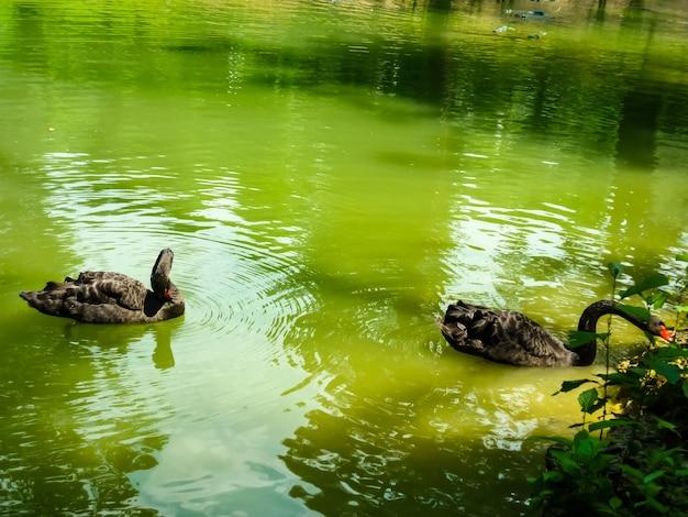 두 마리의 검은 백조가 호수에 떠 있습니다. 검은 백조의 커플을 사랑 해요. 검은 백조의 짝짓기 춤. 아름다운 야생 동물 개념