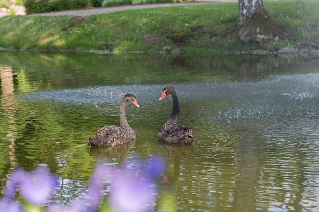 湖の上の2つの黒い白鳥