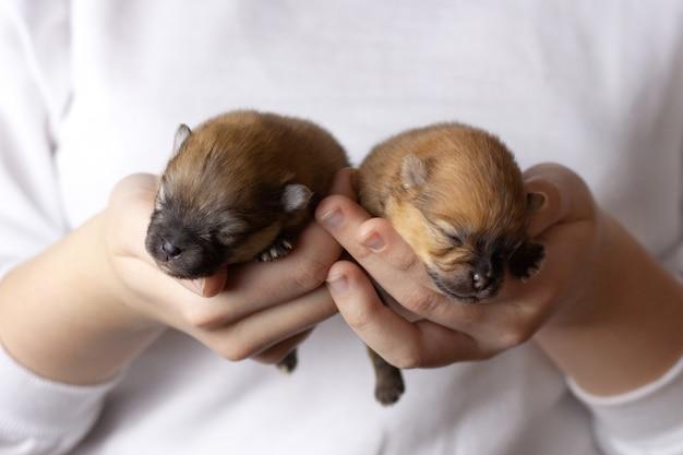 그들의 손에 두 맹인, 신생아 포메라니안 강아지