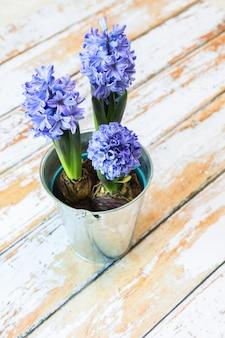 Две цветущие луковицы голубого гиацинта в красивом металлическом горшке