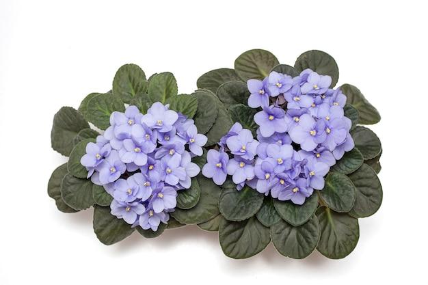 Два цветения нежного цвета виолы, фиолетового цвета сирени в горшке. плоская планировка. отдельный на белом фоне. фото крупным планом. скопируйте пространство. вид сверху
