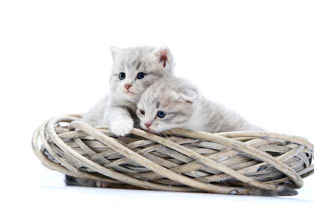 Two blue-eyed newborn fluffy kittens being curious and looking at side while playing in wr