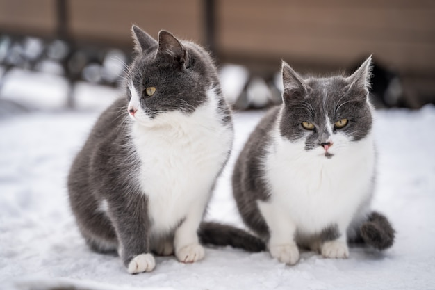 Two blue tabby cats in snow on a cold winter day