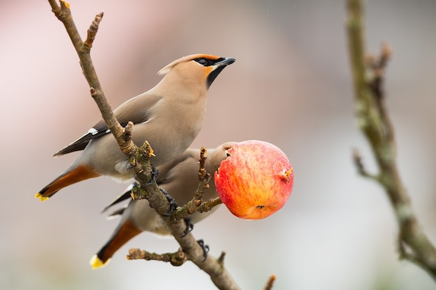 Two bohemian waxwings resting on tree in winter nature