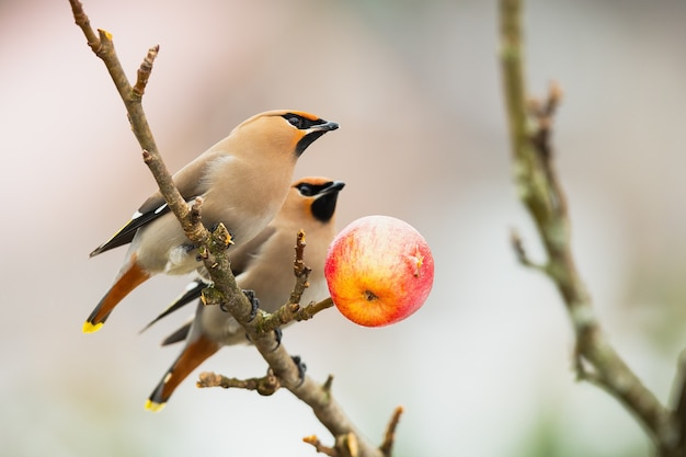 Two bohemian waxwings sitting on branch in winter nature.