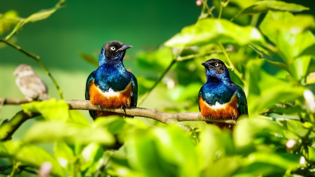 Two brightly colored tropical birds on a green background of vegetation.