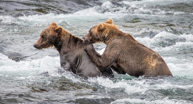 2匹のヒグマが湖で泳いでいます