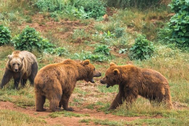 Два бурых медведя сражаются в заповеднике