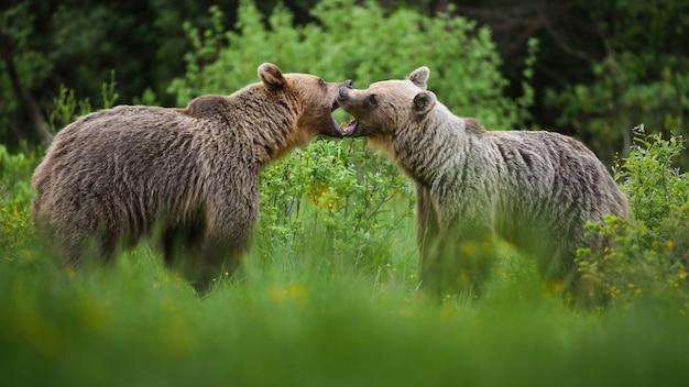 Два бурых медведя борются на лугу в летней природе