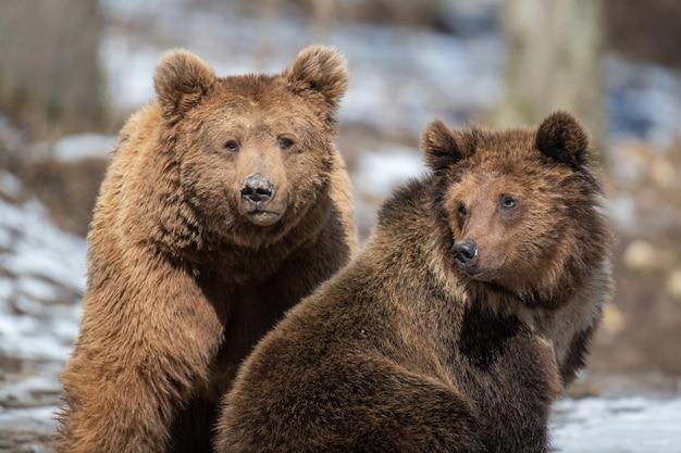 최대 숲에서 두 갈색 곰을 닫습니다. 봄 자연에서 야생 동물 장면. 자연 서식지의 야생 동물