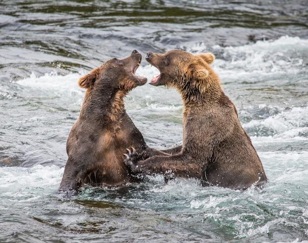 2匹のヒグマが水中で遊んでいます