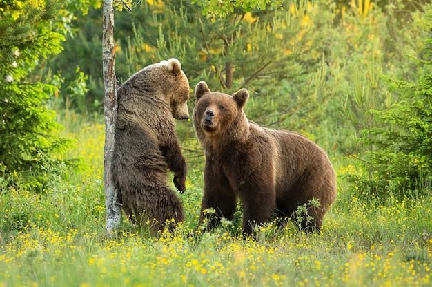 Два бурых медведя летом ухаживают на цветущей поляне