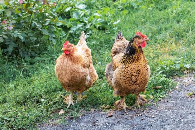 農場の庭にある2羽の茶色の鶏