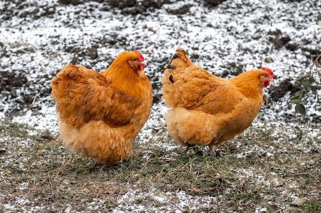 두 마리의 갈색 닭이 눈 덮인 풀밭에서 정원을 걷고 있다