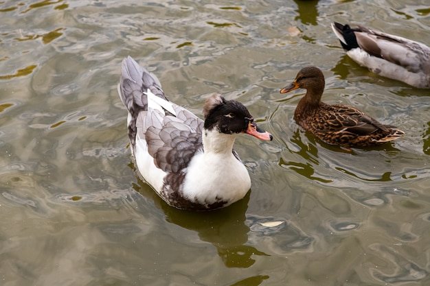 Two brown and crested ducks swim in the pond