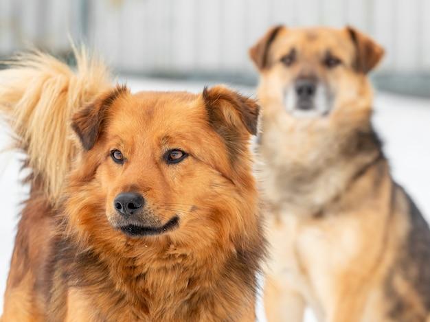 2匹の茶色の犬が雪を背景に冬にクローズアップ