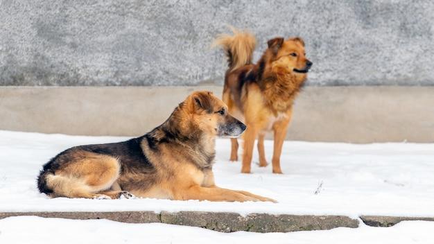 Две коричневые собаки охраняют ферму зимой в снегу