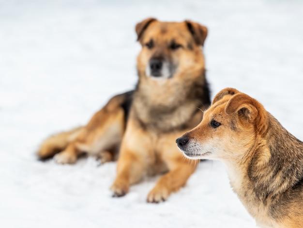 雪の中で冬に2匹の茶色の犬、農場を守っている犬