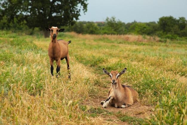 コピースペースのある夏の牧草地にある2頭の茶色のヤギ。